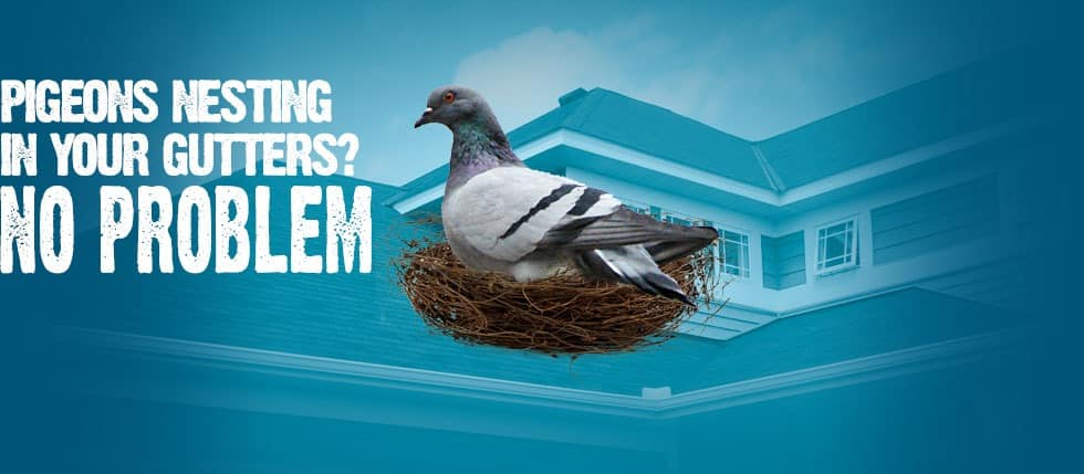 Pidgeons Nesting in your Gutters No Problem