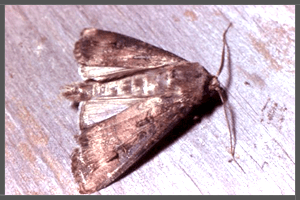 The Australian Bogong Moth.