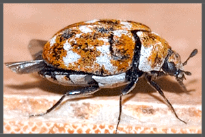 The Australian Carpet Beetle.