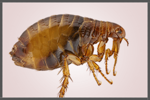 A Flea.