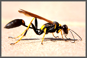 Mud-dauber Wasp.