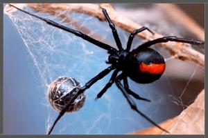 Australian Redback Spider.