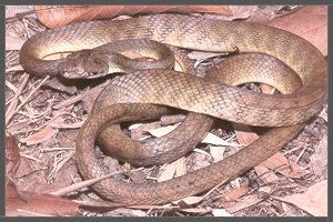 The Australian Brown Tree Snake.