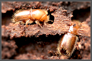 Two Timber Wood Borers.