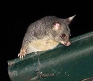 A possum climbing out of a gap between roof tiles and guttering