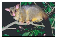 possum a pesky pest Mice are a common pesky pest in brisbane they can get into homes through the  tiniest cracks or gaps around pipes, electrical wiring, through unsealed doors.