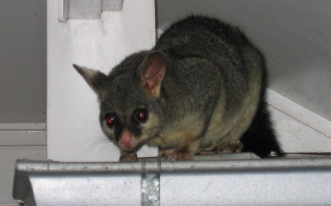 how to get rid of possums from inside your roof pesky possum