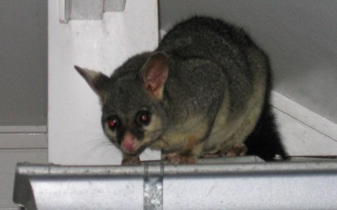 Possum Pest Control