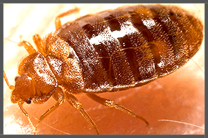 Common Bed Bugs.