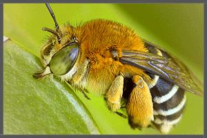 The Common Bee.