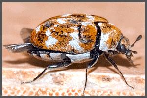 The Australian Carpet Beetle.