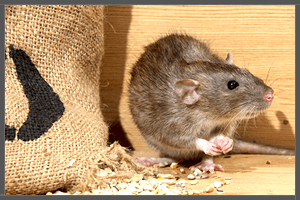 The Common Australian Rat.
