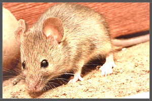 The Common House Mice.