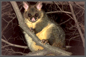The Common Australian Brushtail Possum.
