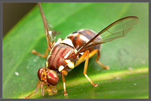 The Common Fly.