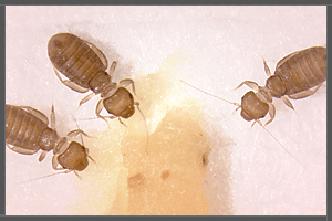 The Common Paper Lice or Booklice (Psocoptera).