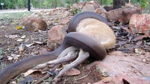 A python wrestling with a wallaby