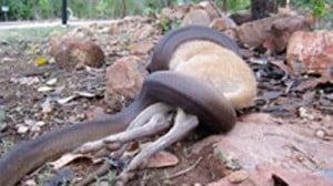 A python wrestling with a wallaby Pesky Possum Pest Control