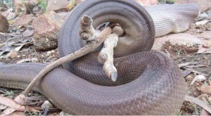 Olive python digesting a wallaby