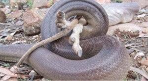 Olive python digesting a wallaby Pesky Possum Pest Control