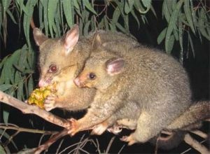 A brushtail possum and its baby eating a piece of pineapple