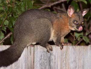 Possums walking along the top of a fence Pesky Possum Pest Control