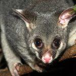 Pesky Possum Pest Control Possum control