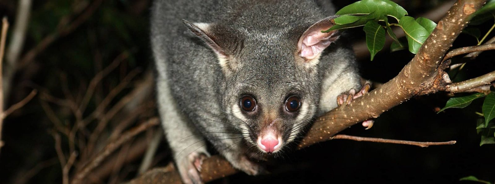 Keeping Possums Away From Your Home This Spring Pesky Possum Pest House Wiring Under Floorboards