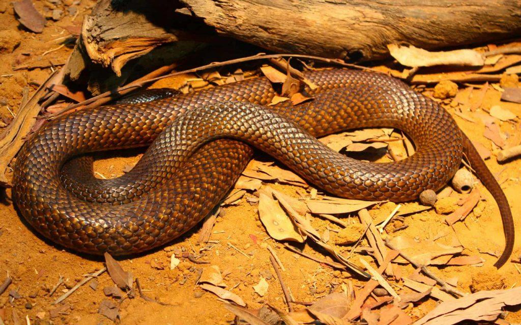 Pesky Possum Pest Control   What to do if you Encounter a Snake