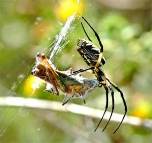 a spider eating an insect caught in the web
