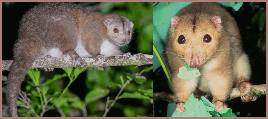 cinereus ringtail possum Pesky Possum Pest Control