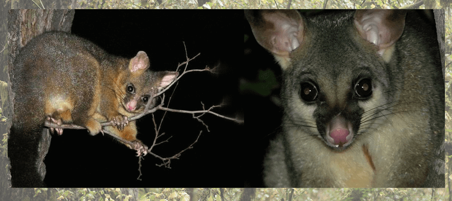 the australian brushtail possums
