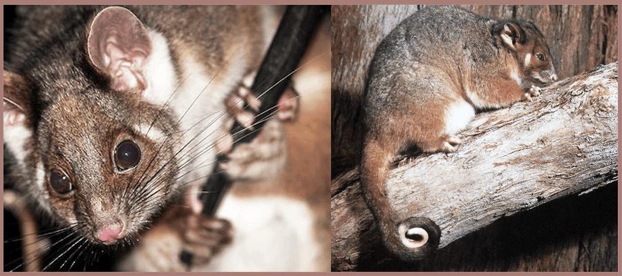 Common ringtail possum Pesky Possum Pest Control