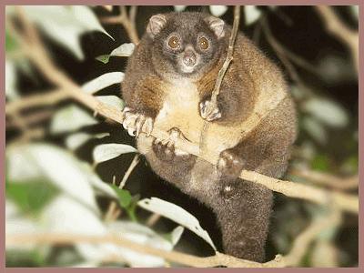Lemuroid Ringtail Possum