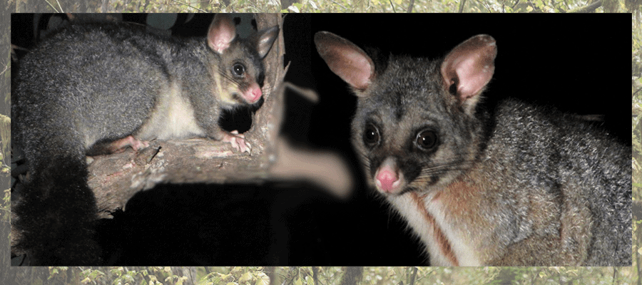 The Australian Brushtail Possums - Pesky Possum Pest Control