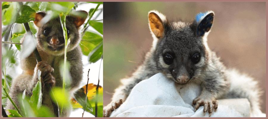 northern brushtail possum Pesky Possum Pest Control