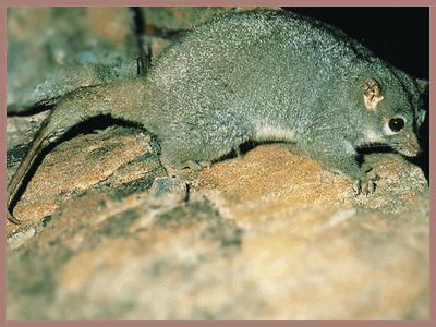 Rock Ringtail Possum
