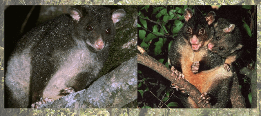Short-eared brushtail possum