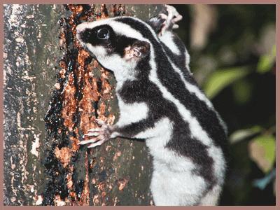 Stripped possum Pesky Possum Pest Control