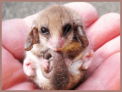 Little Pygmy Possum