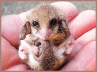 Little Pygmy Possum