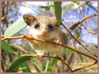 possum a pesky pest American pest control offers possum control services let us remove those pesky  critters once and for all if you have a problem with possums in your yard or.