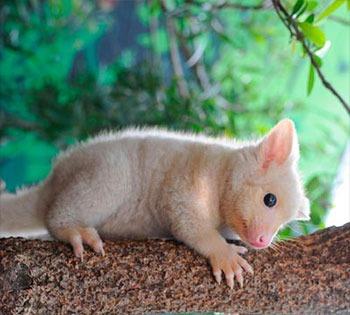 Golden Brushtail Possum