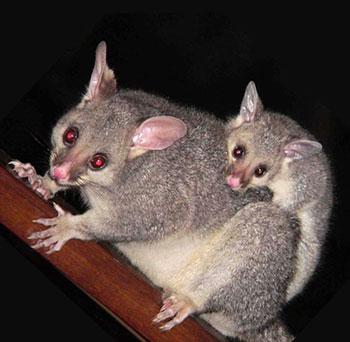 Sydney Possum Removal