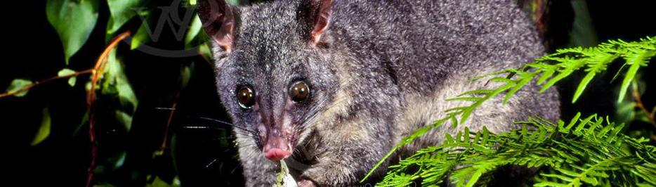 a possum in a tree