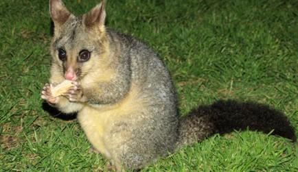 australian brushtail possum on grass