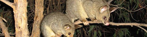 australian brushtail possum
