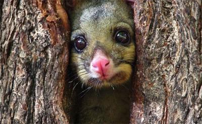 australian brushtail possum inside a tree bark