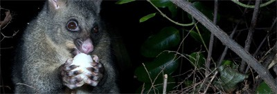 australian brushtail possum eating some fruits