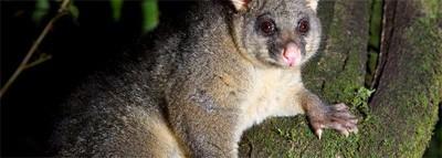 australian brushtail possum on a tree branch